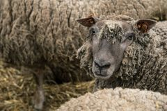 Wool Sheep in the farm. A group of sheep in the local farm in Belgium royalty free stock photo