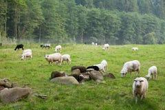 Wool sheep farm, rural cute animals stock photo