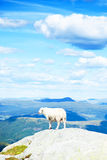 Wool sheep Royalty Free Stock Images