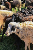 Wool sheep for sale Royalty Free Stock Images