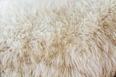 Wool sheep Royalty Free Stock Image