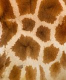 Wool texture. Authentic animal wool texture closeup royalty free stock photography
