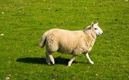 Woolen Lamm Lizenzfreie Stockfotos
