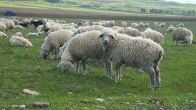 Woolen Schafherdereise durch den Berg lassen Grünfeld auf dem Bauernhof weiden stock video