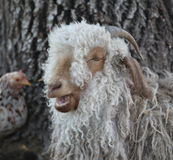 A wooley sheep. A close up view of a sheep with his mouth open showing his teeth and a chicken in the background Royalty Free Stock Photos