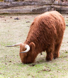 Wooley Yak Stock Photo