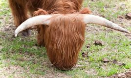 Wooley Yak Royalty Free Stock Images