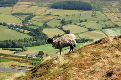 Woolley jumper. Sheep overlooking countryside Stock Image