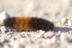 Woolly αντέξτε τη Caterpillar στοκ εικόνες