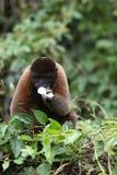 Woolly πίθηκος στο Αμαζόνιο στοκ φωτογραφία με δικαίωμα ελεύθερης χρήσης