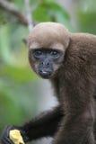 Woolly πίθηκος στο Αμαζόνιο στοκ φωτογραφίες με δικαίωμα ελεύθερης χρήσης
