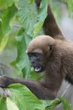 Woolly πίθηκος στο Αμαζόνιο στοκ εικόνες με δικαίωμα ελεύθερης χρήσης