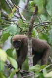 Woolly πίθηκος στο Αμαζόνιο στοκ φωτογραφία