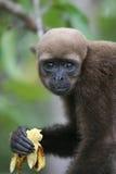 Woolly πίθηκος στο Αμαζόνιο στοκ εικόνες