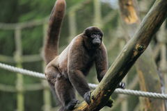 Woolly πίθηκος στοκ φωτογραφία με δικαίωμα ελεύθερης χρήσης