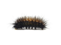 Woolly Bear Caerpillar Arctiidae Royalty Free Stock Photos