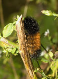 Woolly bear caterpillar. Close-up of a banded woolly bear caterpillar Stock Photos