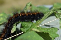 Woolly bear caterpillar Stock Images
