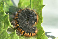 Woolly bear caterpillar Royalty Free Stock Images