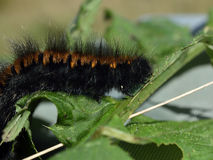 Woolly bear caterpillar Stock Photo