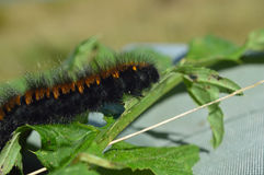 Woolly bear caterpillar Stock Photography