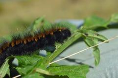Woolly bear caterpillar Stock Photography