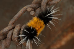 Woolly Bear Caterpillar on Chain Link Royalty Free Stock Images