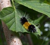 Woolly Bear Caterpillar. Feeding on maple leaf Royalty Free Stock Photography