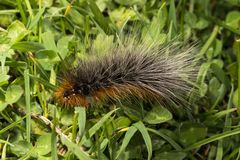 Woolly Bear caterpillar of the Garden Tiger Moth Stock Images