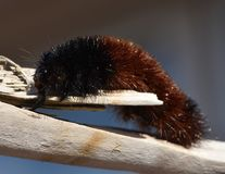 Woolly Bear Caterpillar or Isabella Tiger Moth, crawling on a stem. The side  view of a Woolly Bear Caterpillar crawling on bleached driftwood.  This insect is Stock Images