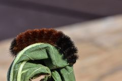 Woolly Bear Caterpillar or Isabella Tiger Moth, crawling on a stem. The side  view of a Woolly Bear Caterpillar crawling and curling around leaf.  This insect Royalty Free Stock Photo