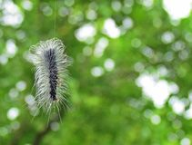 Woolly Bear Caterpillar. Caterpillar of the moth hangs in the web during monsoon season Stock Photos