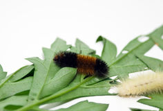 Woolly Bear Caterpillars Stock Photography