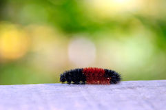 Woolly bear on the wooden plank Stock Photo