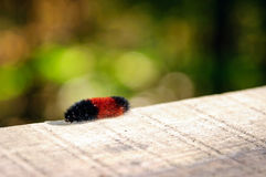 Woolly bear on the wooden plank Stock Images