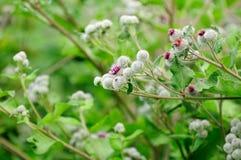 Woolly Burdock (Arctium Tomentosum) Royalty Free Stock Photography