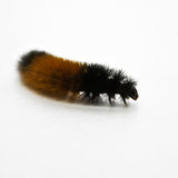 Woolly Caterpillar Stock Photo