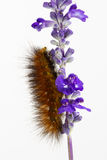 Woolly caterpillar on Purple  flowers Stock Photo