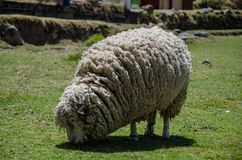 Woolly ewe eating. White Woolly Sheep Grazing in a Green Field Stock Images