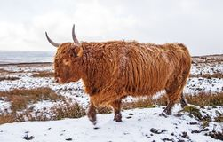 A Highland Bull on Snowy Moors. A woolly haired Highland breed bull walking over snow covered moorland Stock Images