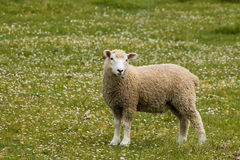 Woolly lamb on wildflower meadow Stock Photos