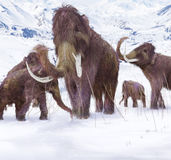 Woolly Mammoth Family Royalty Free Stock Image