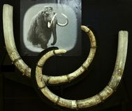 Woolly mammoth tusks in a Romanian museum Stock Photography
