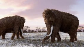 Woolly Mammoths Grazing In Field Animation stock footage