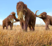 Woolly Mammoths Grazing In Grassland Stock Images