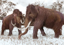 Woolly Mammoths Grazing In The Snow Stock Photo