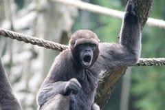 Woolly monkey. (lagothrix lagotricha) yawning lazily Royalty Free Stock Photo