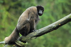 Woolly monkey. The woolly monkey sitting on the branch Royalty Free Stock Photos