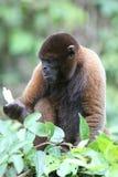 Woolly Monkey in Amazon. A Woolly Monkey in a tree along a river in the Amazon Rainforest Stock Photo