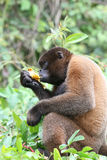 Woolly Monkey in Amazon. A Woolly Monkey in a tree along a river in the Amazon Rainforest Royalty Free Stock Photos